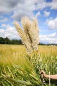 Bilde av Dutch pampas grass 1pk